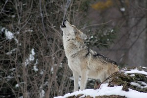wolf_howling_animal_wild_nature_wildlife-1200262.jpg!d